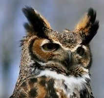 Ear tufts of a Great Horned Owl