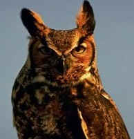 The Owl is an enemy of Sharp-Tailed Grouse