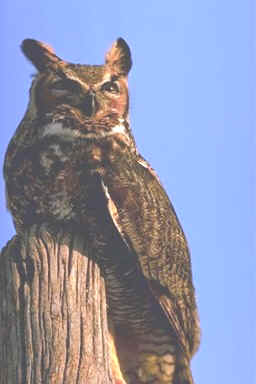 Great Horned Owls - Feeding