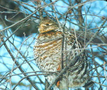 Ruffed Grouse Nesting