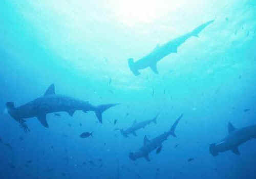 hammerhead shark photos