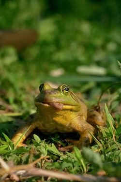 Frog Facts What S With That Tongue