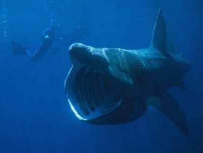 Basking sharks sometimes gather for big parties  Just for
